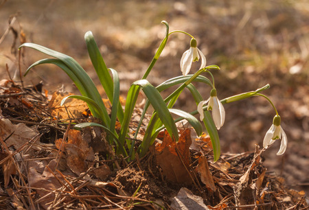 White Galanthus (snowdrops)  in the forest  in spring day on blurred background. Stock Photo