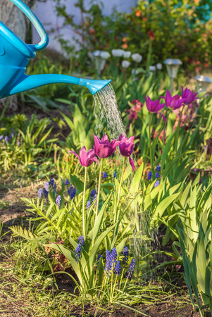 Watering flower beds with blooming tulips and muscari armeniacum from a watering can on a sunny day in spring. Stock fotó