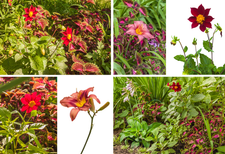 Flowerbed of dahlia, coleus and daylily on a sunny day. Harmonious combination of pink and purple flowers on a flower bed. 版權商用圖片 - 111989828