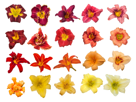 Set of daylily flowers of red, orange and yellow shades on a white background isolated