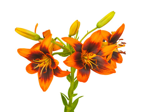 Blooming flower orange Lily Asian hybrids, Twosome  on a white background isolated