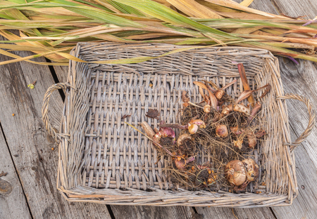 Gladiolus bulbs in basket on a wooden table after the end of the growing season Banco de Imagens
