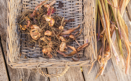 Gladiolus bulbs in basket on a wooden table after the end of the growing season Stock Photo