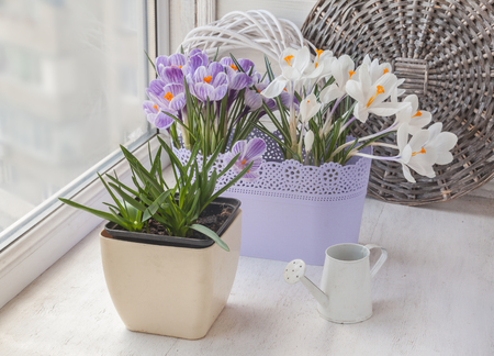White and striped crocuses and muscari on the window