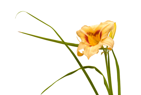 Flower of  hemerocallis  (daylily) Pandoras Box of light-melon color  on white background isolated