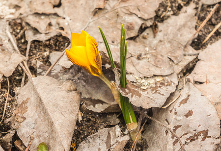 Yellow crocus blooms in the garden in early spring in March. Reklamní fotografie