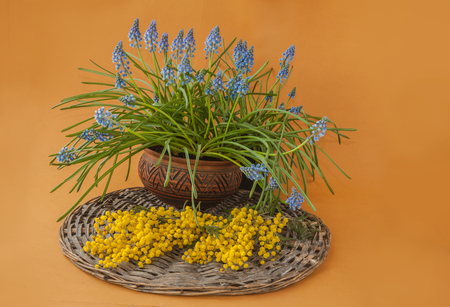 Mimosa and Muscari on a mustard background. Background for congratulations