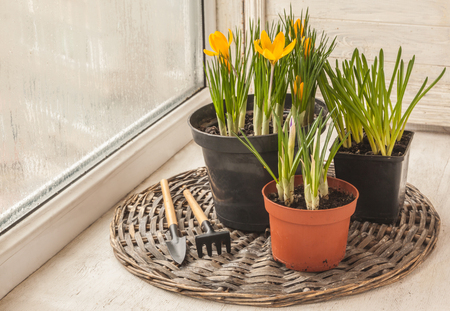 Crocuses and Muscari in pots on the balcony window next to the rake and shovel