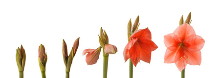 Sequence of the flowering pink Hippeastrum  Rilona  on a white background isolated