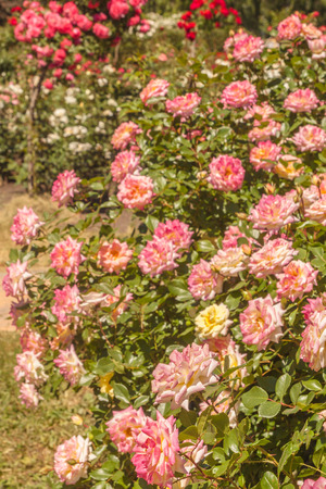 Blooming red and pink Chinese-hybrid roses in the rose garden of the botanical garden in summer on a sunny day 免版税图像