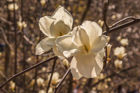 Blooming Magnolia soulangeana flowers on sunny day. Selective focus
