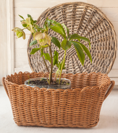 Hellebore  Prince Creame in the brown basket