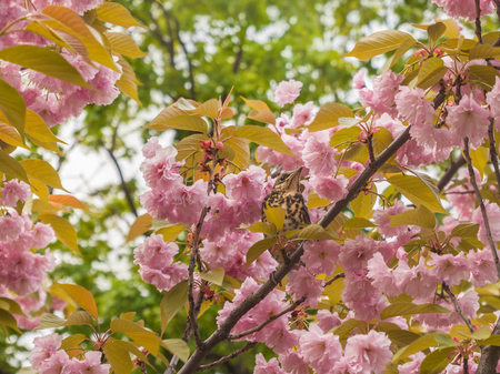 Fieldfare chick fledgling sitting on a branch of pink sakura blossoms in spring