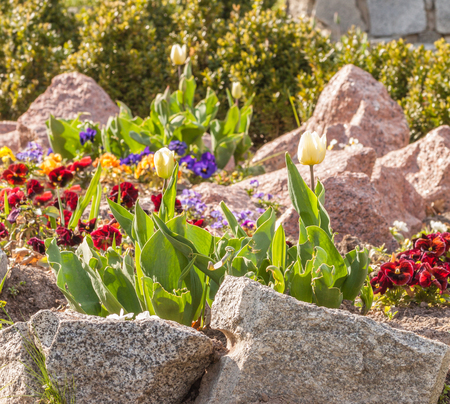 Blooming tulips and viola among the stones against the background of boxwood
