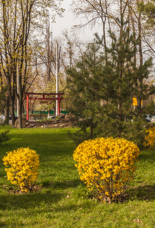Forsythia bushes bloom against the background of a toro gate in a Japanese-style garden