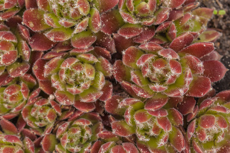 Red and green succulent sempervivum plant in flat lay