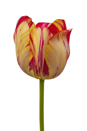 One tulip with yellow and red stripes Rembrandt Group