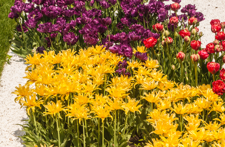 Blooming double yellow, purple and pink tulips in a bed in the park in spring 스톡 콘텐츠