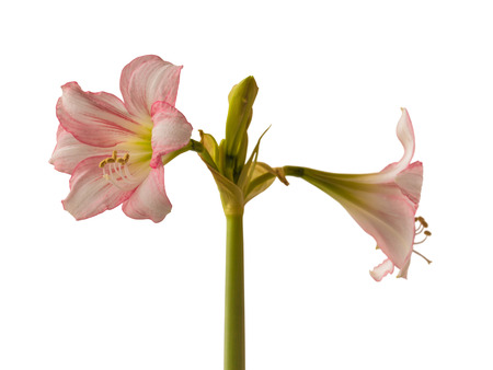Blooming beautiful miniature pink hippeastrum or amaryllis  (Sonatini pink rascal) on a white background isolated