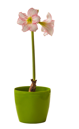 Blooming beautiful miniature pink hippeastrum or amaryllis  (Sonatini pink rascal) on green pot isolated on white background Stock Photo - 123692317