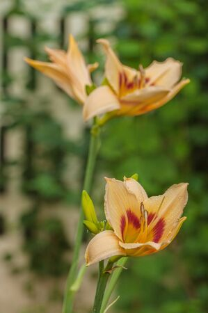 Blossom Daylily (Hemerocallis) Pandoras Box with water drops after watering  on blur background