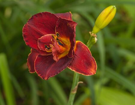 Blooming dark red daylily  of flower beds in the summer garden.