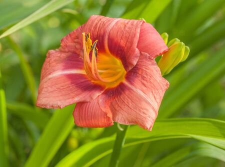 Blooming Hemerocallis