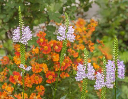 Blooming Physostegia virginiana on background Ratibida pinnata in the garden