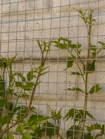 Basis for Campsis creeper near the fence. Spring young shoots of creeper. Archivio Fotografico - 130145065