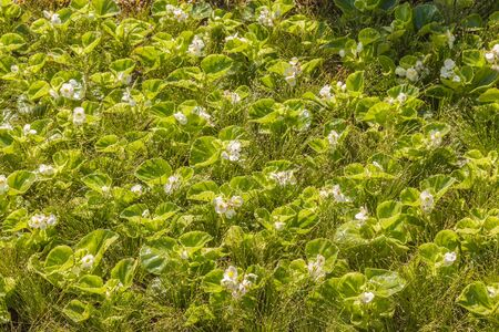 Textured, ornamental filling of the flowerbed with a white begonia and fescue in the park Stok Fotoğraf