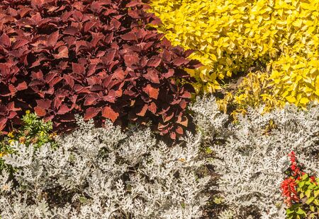 Flower bed of cineraria  and coleus in   park. Color combination of decorative leaves of plants