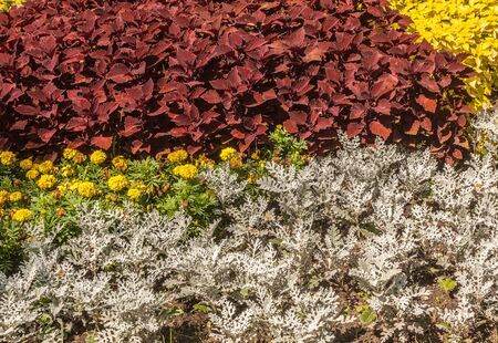 Flower bed of cineraria, marigolds and coleus in   park. Color combination of decorative leaves of plants