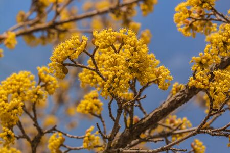 Blooming dogwood against the sky on a sunny day Zdjęcie Seryjne