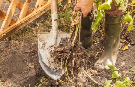 Gardener digs dahlias autumn. Autumn work in the garden.
