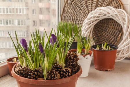 Growing crocuses in pots in winter to bloom for the holidays. Standard-Bild