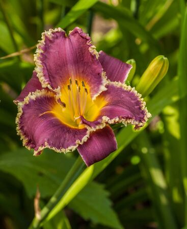 Purple daylily (hemerocallis)