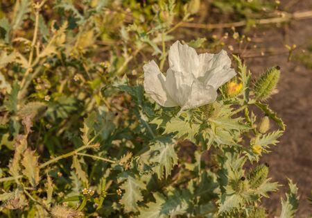 Crested pricklypoppy or Argemone platyceras    in bloom in a garden Imagens