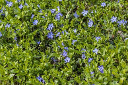 Bright periwinkle blue flowers on a background of green leaves