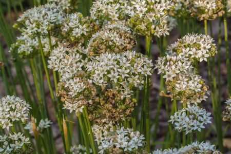 Allium ramosum, called Fragrant-flowered Garlic or Chinese chives is a northern Asian species of wild onion native to Kazakhstan, Mongolia, Siberia  and northern China.
