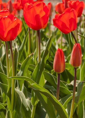 Flowerbed with red simple early tulips in April