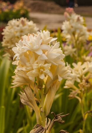 Agave amica, formerly Polianthes tuberosa, the tuberose, is a perennial plant in the family Asparagaceae, subfamily Agavoideae, extracts of which are used as a note in perfumery.