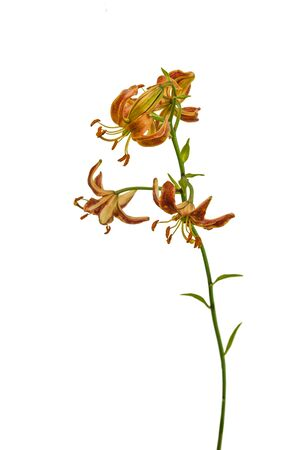 Martagon or turk's cap lily, lilium martagon  'Scarlet Morning' on a white background isolated