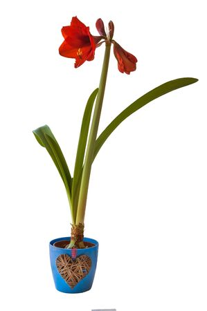 Hippeastrum Galaxy Group  Red Lion in a blue pot with a decorative heart on a white background isolated