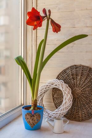Red Hippeastrum Galaxy Group Â« Red Lion» in a blue pot with a decorative heart and a decorative watering can on the window Stok Fotoğraf