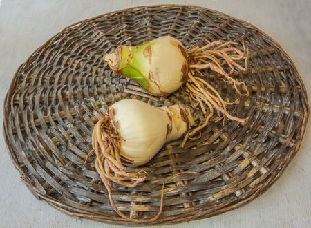 Two bulbs of hippeastrum (amaryllis) with roots on a wicker circle