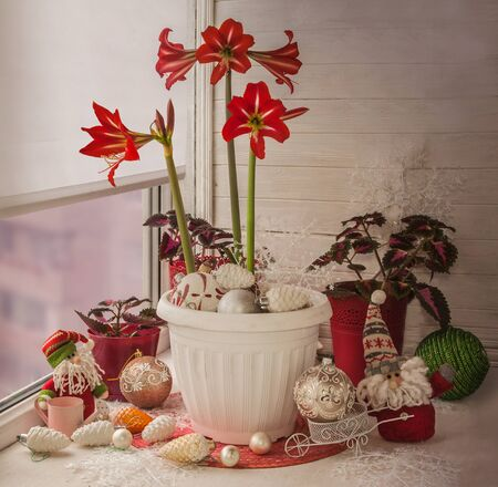 """New Year's decoration of the balcony window with blooming amaryllis (hippeastrum) sonatini variety """"Balentino"""" with Christmas toys (mass production)"""