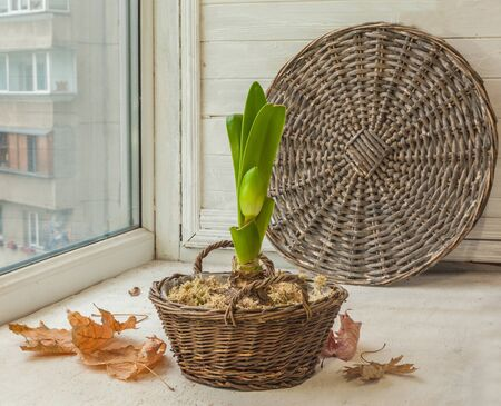 Hippeastrum (amaryllis) in a basket on a window near the leaves