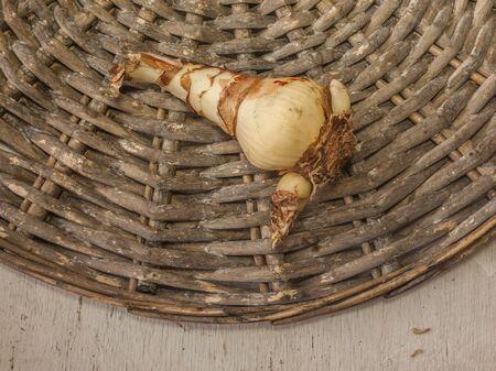 Bulb of miniature or Solanini  hippeastrum (amaryllis)  on wicker circle. Flat lay