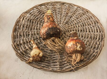 Three bulbs of hippeastrum (amaryllis) of different varieties on a wicker circle
