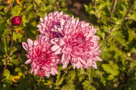 Chrysanthemum x koreanum, synonymous Chrysanthemum x hortorum Bailey Chrysanthemum garden